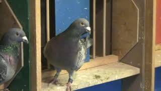 Racing Pigeons Breeder Mr Enache Constantin Chitila Romania flying males 2020 June 9