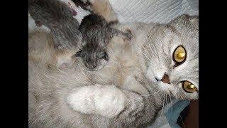 КОШКА РОЖАЕТ СКОТТИШ ФОЛД 😻 РОЖДЕНИЕ КОТЯТ / МЯУКАНЬЕ НОВОРОЖДЕННЫХ КОТЯТ 🐱 Meowing Kitten Cat