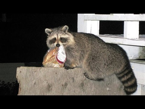 Animals stealing stuff – Funny & cute animals compilation