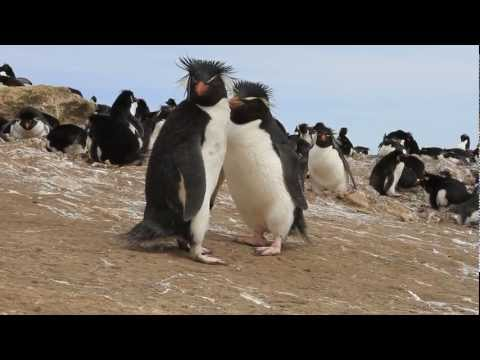 Rockhopper Penguins Approaching the Camera