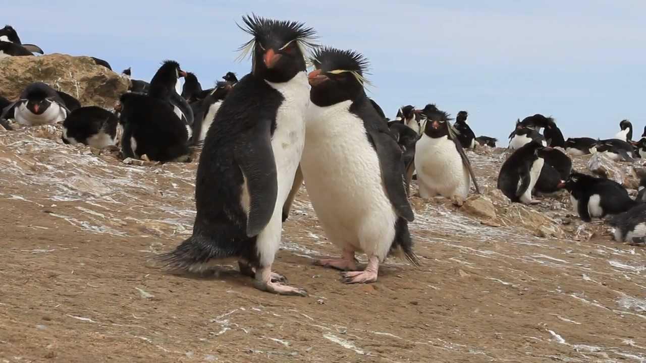 Rockhopper Penguins Approaching the Camera - YouTube