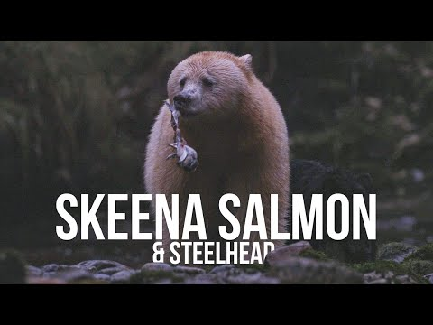 Skeena Salmon & Steelhead | A Fishing Film For The Future Of Fish By Captain Quinn