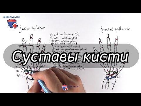 Анатомия суставов кисти - Meduniver.com