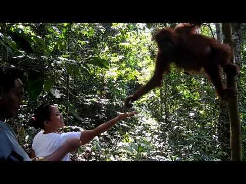 Indonesia sumatra orangutan Bukit lawang 3/8