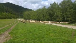 Ovce na paši.