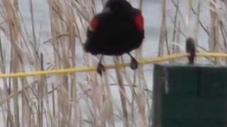 Red Winged blackbird song