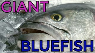 Video Giant Bluefish Commercial Fishing in the Meat Wagon download MP3, 3GP, MP4, WEBM, AVI, FLV Juli 2018