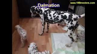 Dalmation, Puppies, For, Sale, In, Weirton, West Virginia, Wv, Kanawha, Monongalia, Cabell, Wood, Ra