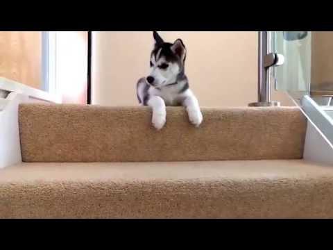 Щенок хаски не хочет спускаться с лестницы, воет, но не поддается на уговоры и приманки