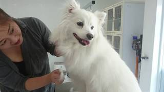 Brushing & combing before bath.Muku,Japanese Spitz. 日本スピッツの...