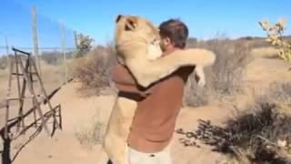 Lion give his owner a hug!