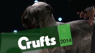 Group Judging | Terrier | Crufts 2014