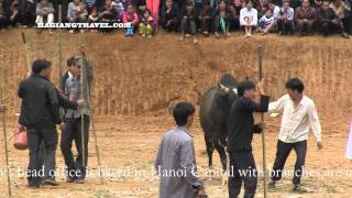 ox fighting video at khau vai love market festival in meo vac www hagiangtravel com