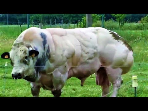 This Hulking Bull Was Bred For Its Meat, But When It Tries To Move The Controversy Becomes Clear