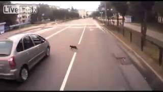 ДТП с кошкой