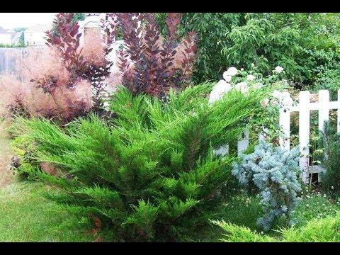 Сорта можжевельников. Какие бывают можжевельники? Обзор хвойных растений для сада