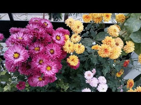 56# Gule daudi / Chrysanthemum / winter flower