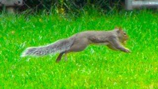 Squirrel Running Around - Squirrel and Nut
