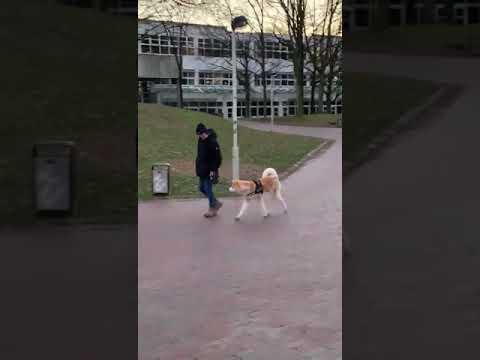 Akita Inu  秋田 ( Hundetraining, Erziehung, Discipline )