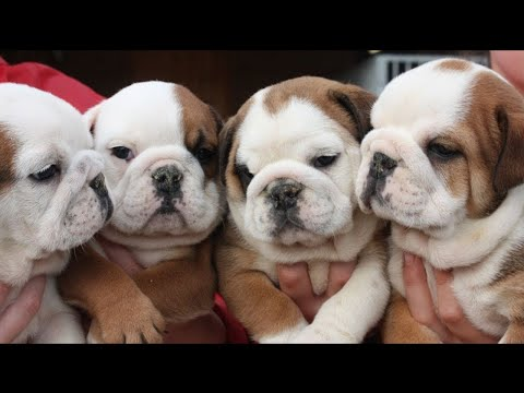English bulldog Sale  in just 10,000 Limited Period offer || by dogsbreedofficial