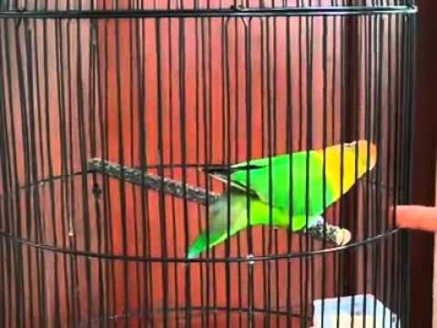 HEBOH.. Love bird juara nembak cililin panjang