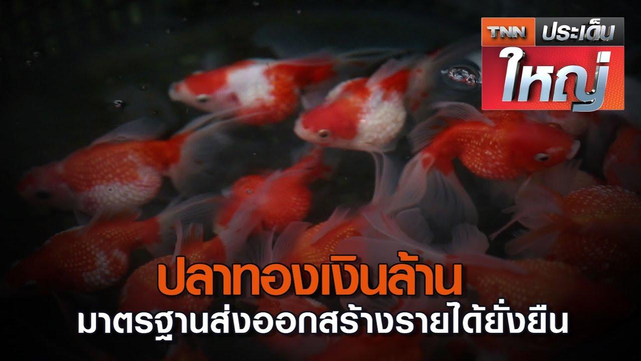 ปลาทองเงินล้าน มาตรฐานส่งออกสร้างรายได้ยั่งยืน | TNNประเด็นใหญ่ 13-11-2563