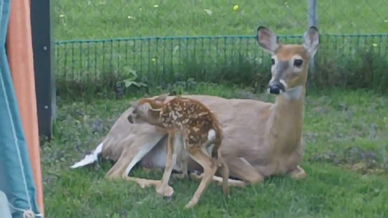 Deer with Fawn Born in the backyard Kenora - YouTube