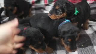 Ritas 11/28/20 Welsh Terrier puppies 4 weeks old
