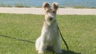 Wire Fox Terrier nana, her smile is fascinating. ワイヤーフォックス...
