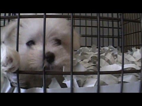Puppy Mills Supplying NY Pet Stores