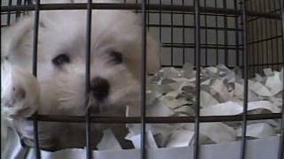 Puppy Mills Supplying NY Pet Stores thumbnail