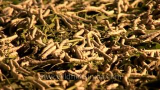 Sericulture or silk worm rearing in Karnataka