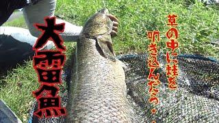 【雷魚】忘れ去られた往年のライギョフィールド。激スレでもガッツリ80over snakehead fishing in Japan