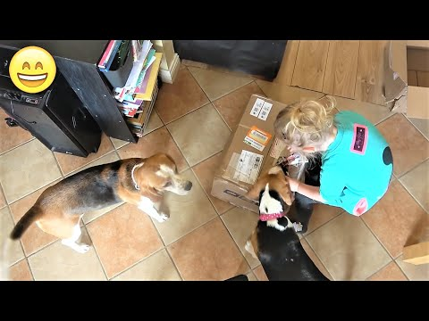 Beagle Charlie Can't Wait to Unbox his Gifts