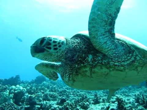 dive-oahu-with-turtles!-diving-oahu-at-it's-best