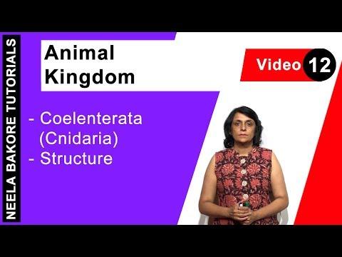 Animal Kingdom - Coelenterata (Cnidaria) - Structure