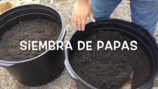 Como sembrar papas- HuertoLatino.com