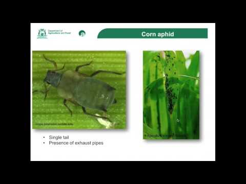 Recognising Russian Wheat Aphid No questions at the end HD 1080p
