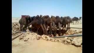 Camels Attack | هجوم الجمال Thumbnail