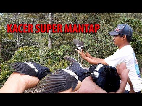 Pikat burung kacer hutan super banget di alam liar mantap