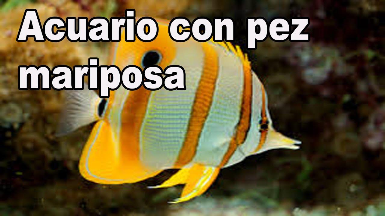 Acuario marino peces mariposa youtube for Peces de acuario marino