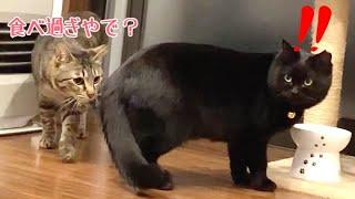 新入り黒猫を先住猫が受け入れだしてくれてます!