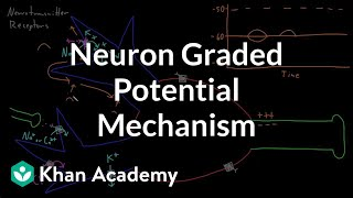 Neuron graded potential mechanism