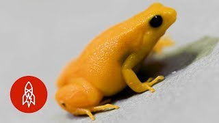A Tiny Golden Frog as Rare as It Is Small