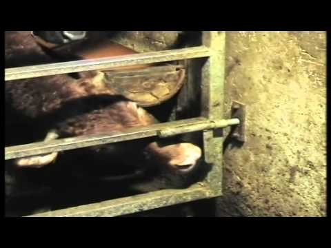 פרה משחררת את עצמה מהתא