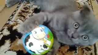 Интересное видео о шотландском котенке.