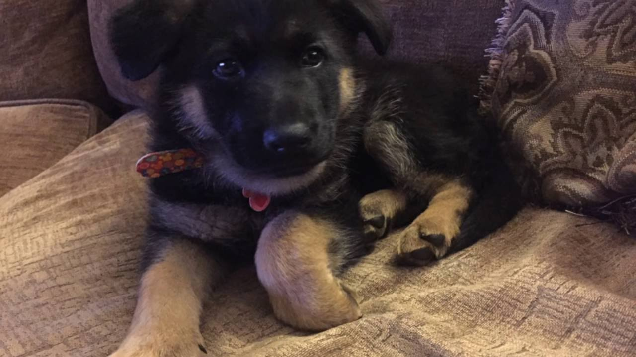 6 week old german shepherd puppies german shepherd puppy basic training 6 weeks old sit stay 8141