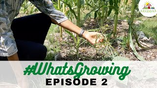 #WhatsGrowing | Episode 2 [11.05.2020] #virtualtour #aanandaatour