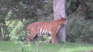 Wild Tiger @ Mudumalai