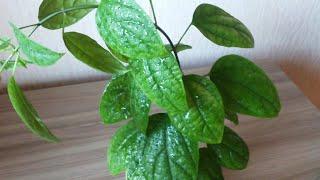 клеродендрум томпсона как сделать куст